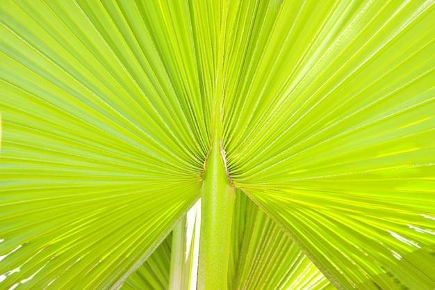 Bujny zielony liść palmowy. tło lub tekstura