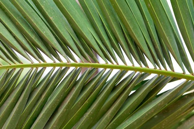 Bujny zielony liść palmowy
