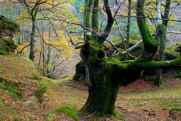 Buk przycinany na węgiel drzewny. park przyrody gorbeia. kraj basków. hiszpania