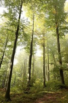 Buki w lesie jesienią przy mglistej, deszczowej pogodzie