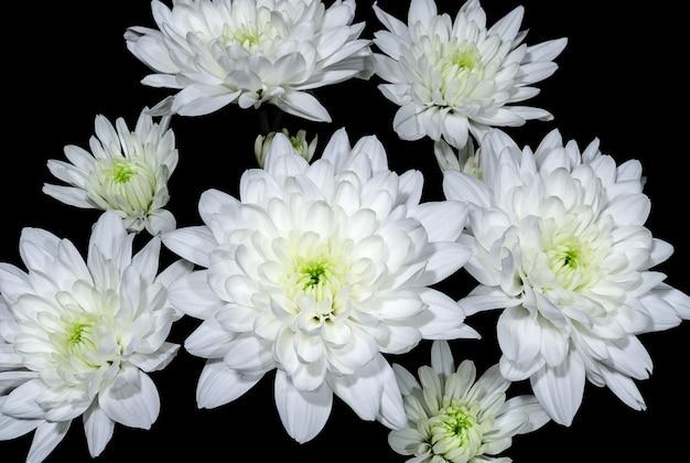 Bukiet białych chryzantem na ciemnym tle z bliska kwiaty i rośliny