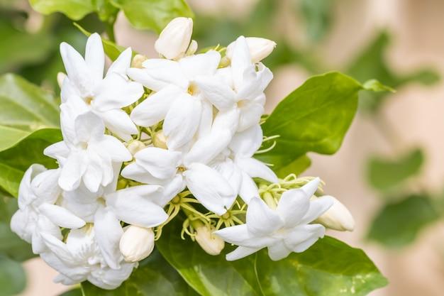 Bukiet białych kwiatów, jaśmin (jasminum sambac l.)