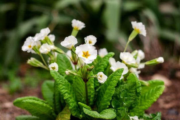 Bukiet białych kwiatów, na klomb na wiosnę.