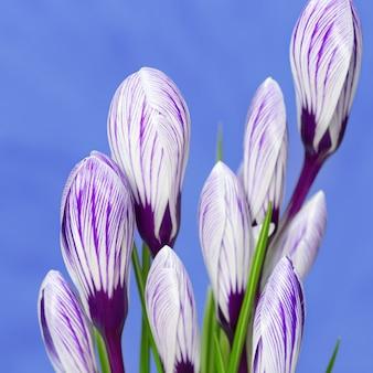 Bukiet białych kwitnących krokusów z paskami