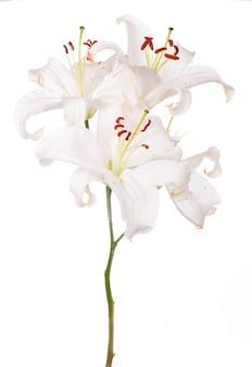 Bukiet białych lilii na białym tle na białej powierzchni