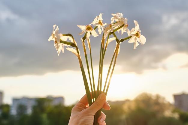 Bukiet białych wiosennych kwiatów żonkili w ręku, kwiaty zaczynają blaknąć