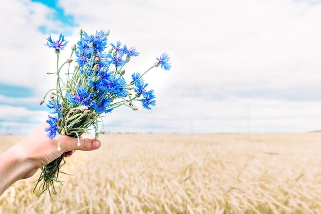 Bukiet chabrów niebieskie na tle pola lato. ziołowe kwiaty polne. symbol białorusi