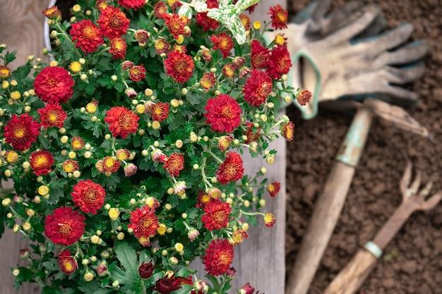 Bukiet czerwonych chryzantem z narzędziami ogrodowymi gotowymi do sadzenia w ziemi w wiosennym ogrodzie