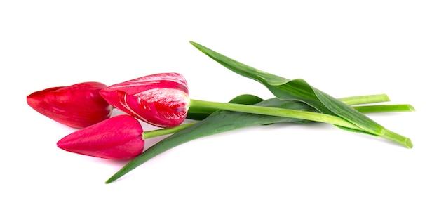 Bukiet czerwonych tulipanów odizolowywających na biel przestrzeni. wiosenny bukiet.