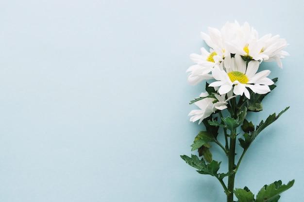 Bukiet daisies na jasnoniebieskim tle z miejsca po lewej stronie