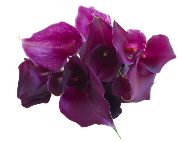 Bukiet fioletowych kwiatów calla lilly na białym tle