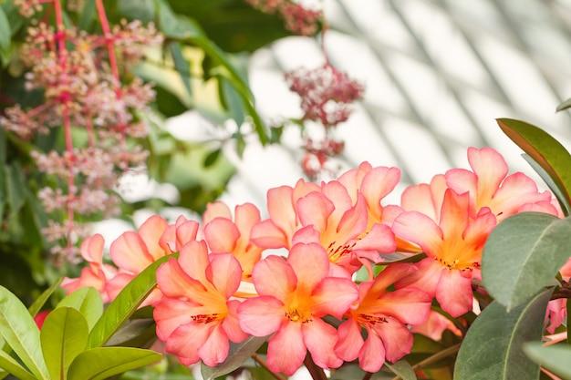 Bukiet hawajskich tropikalnych różowych kwiatów plumeria.