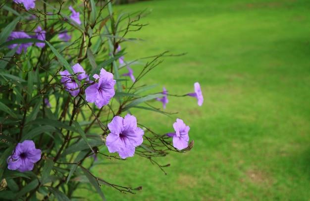 Bukiet jasnych fioletowych korzeni kwiatów minnie przeciwko żywemu zielonemu trawnikowi