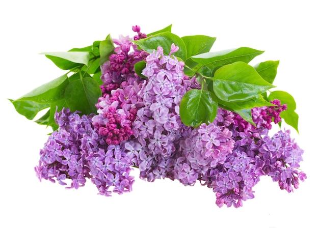 Bukiet kwiatów bzu na białym tle