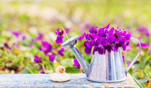 Bukiet kwiatów fiołków leśnych w puszce konewki i ślimak muszli