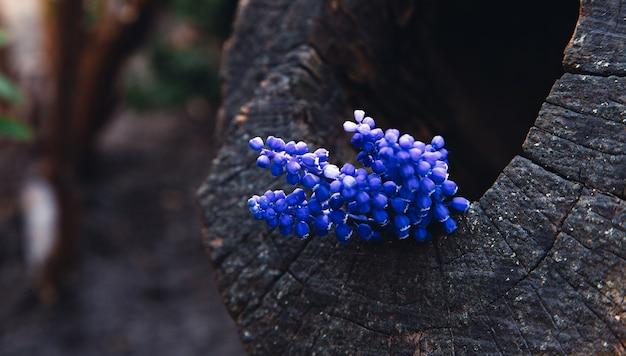 Bukiet kwiatów lawendy na drewnie