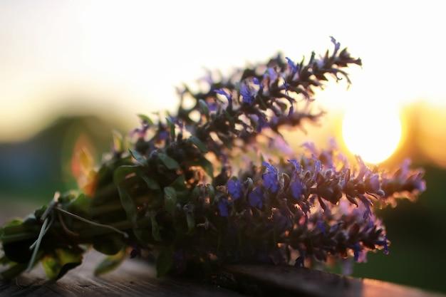 Bukiet kwiatów lawendy na zachód słońca letni wieczór