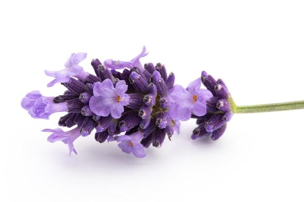 Bukiet kwiatów lawendy związany na białym tle