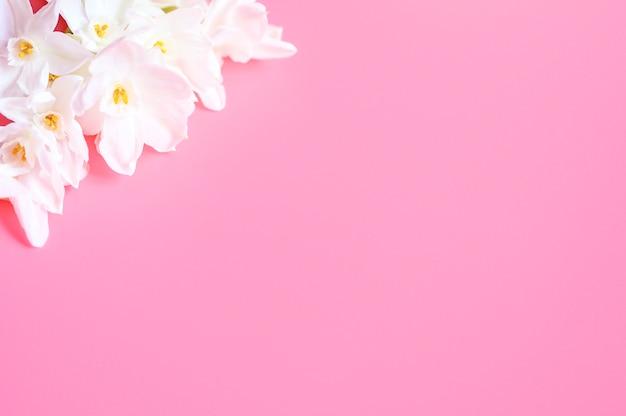 Bukiet kwiatów narcisses biały kolor w pełnym rozkwicie na różowym tle z miejscem na tekst.