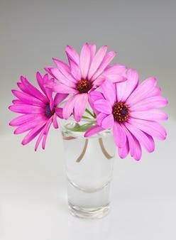 Bukiet kwiatów osteospermum w wazonie na szarej ścianie.