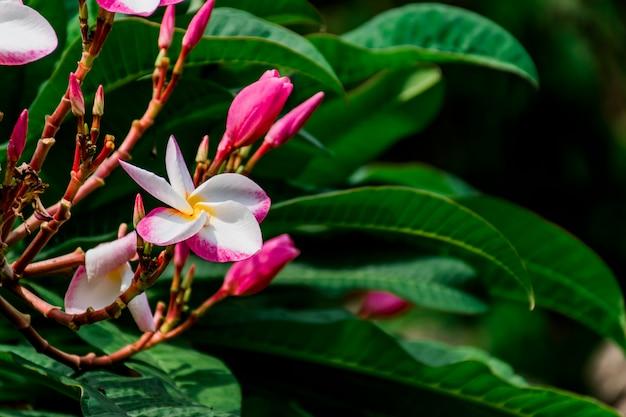 Bukiet kwiatów plumeria, biały, różowy, na zielonym tle liści.