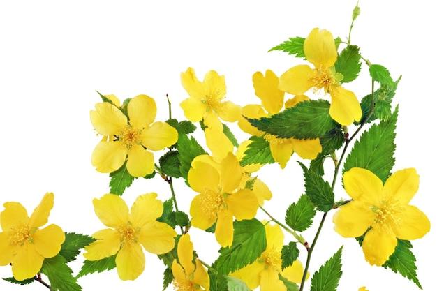 Bukiet marsh marigold żółte kwiaty w wazonie na białym tle.