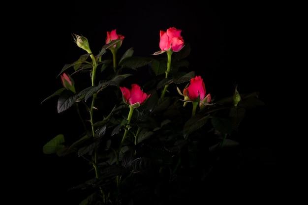 Bukiet pięknej róży z bliska na ciemny