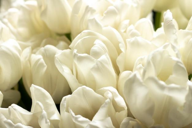 Bukiet pięknych świeżych kremowych tulipanów