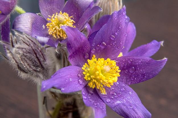Bukiet przebiśniegów - pierwsze wiosenne kwiaty, na jasnym jasnym tle. kwiat symbolizujący nadejście wiosny. makro