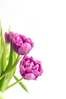 Bukiet purpurowe tulipany na białym tle. karta świąteczna