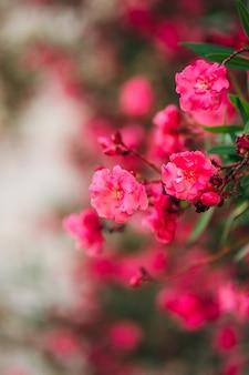 Bukiet różowego tropikalnego kwiatu bugenwilli