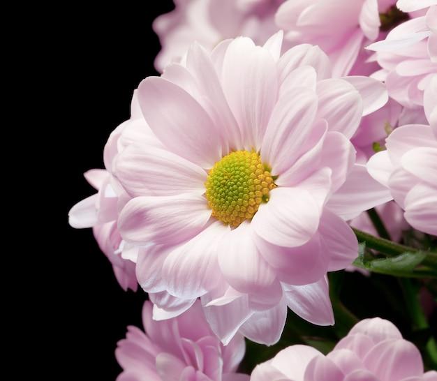 Bukiet różowych chryzantem na czarnym tle. (zbliżenie)