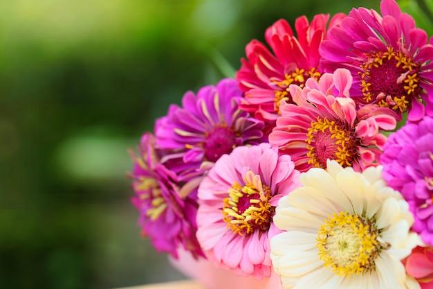 Bukiet różowych, fioletowych, białych cyni na zielonym rozmazanym