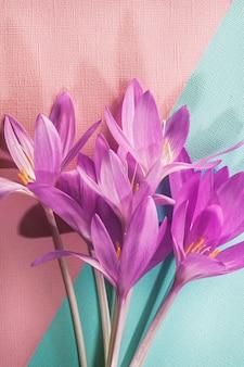 Bukiet różowych krokusów na różowym i niebieskim tle z teksturą. kartka z życzeniami.