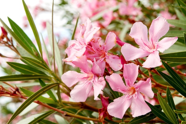 Bukiet różowych tropikalnych kwiatów bugenwilli wśród zielonych cienkich liści