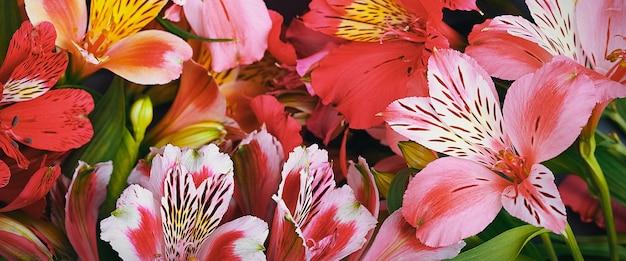 Bukiet storczyków piękny, świeży, jaskrawoczerwony, żółty. kwiaty są duże, soczyste, pachnące. układ na powitanie lub kartkę z życzeniami.