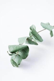 Bukiet suchych liści eukaliptusa na białym tle na białej powierzchni