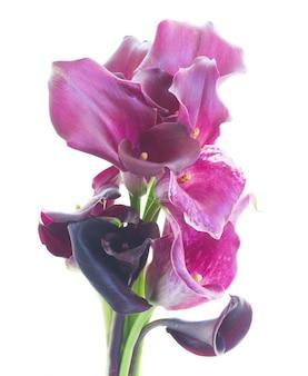 Bukiet świeżych fioletowych kwiatów lilly calla na białym tle