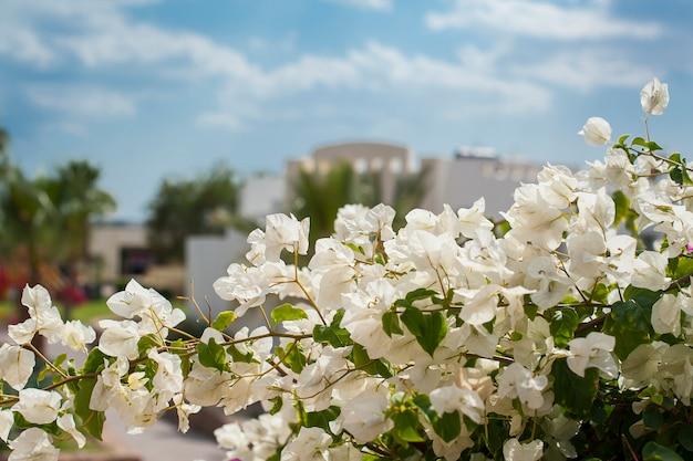Bukiet tropikalnych kwiatów papierowych lub kwiatów bugenwilli na końcu gałęzi