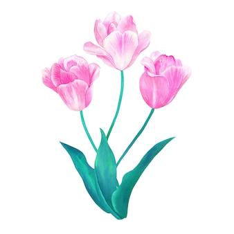 Bukiet trzech różowych tulipanów z zielonymi liśćmi w pastelowych kolorach. ręcznie rysowane akwarela ilustracja. odosobniony.