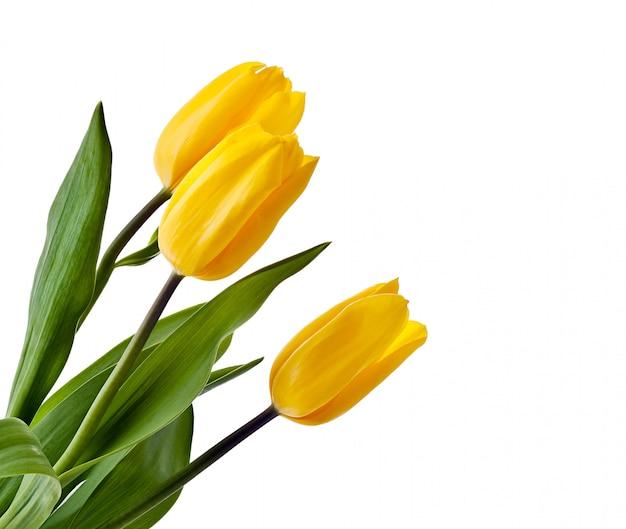 Bukiet tulipanów żółty na białym tle