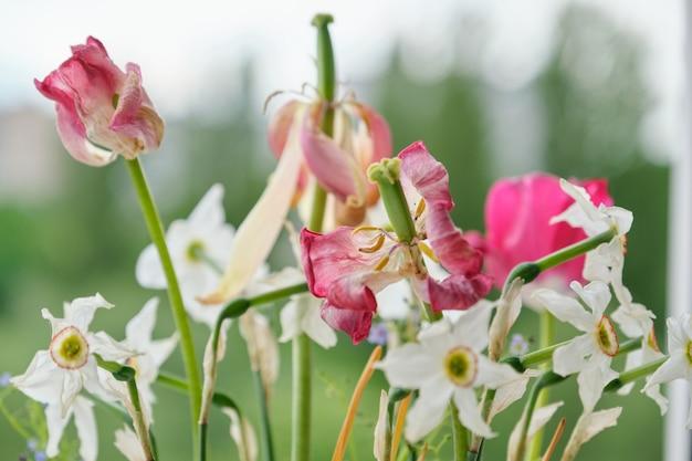 Bukiet wyblakłych wiosennych kwiatów, tulipanów i białych żonkili wyschło