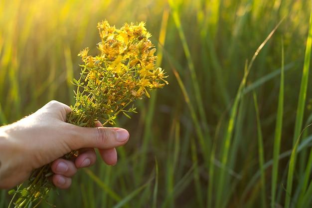 Bukiet z dziurawca w dłoni na tle trawy w promieniu słońca. zioła lecznicze, kolekcja herbat, medycyna alternatywna. czas letni, wieś, ekologia, harmonia z naturą. skopiuj miejsce