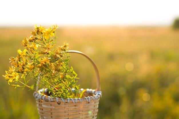Bukiet z dziurawca w koszu na tle trawy w promieniach słońca. zioła lecznicze, kolekcja herbat, medycyna alternatywna. czas letni, wieś, ekologia, harmonia z naturą. skopiuj miejsce