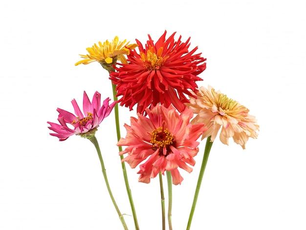 Bukiet żółte, różowe, czerwone pąki kwitnących cynia na białym tle