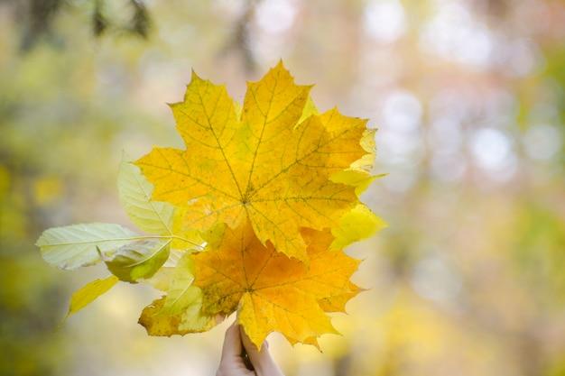 Bukiet żółtych liści klonu w kobiecej dłoni. jesienna koncepcja