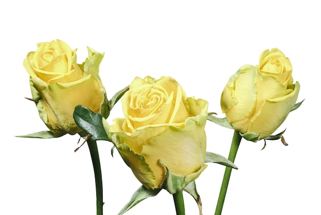 Bukiet żółtych róż na białym tle