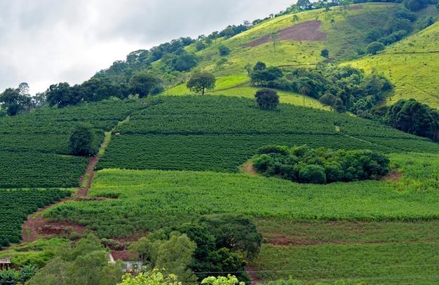 Bukoliczny krajobraz z plantacją kawy, maniokiem i kukurydzą na wzgórzu. minas gerais, brazylia