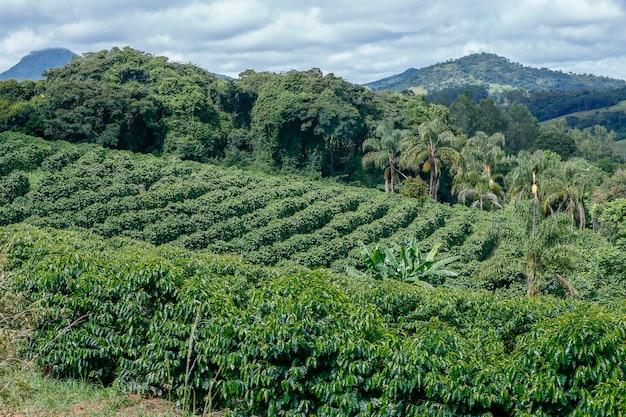 Bukoliczny krajobraz z plantacją kawy na wzgórzach minas gerais w brazylii