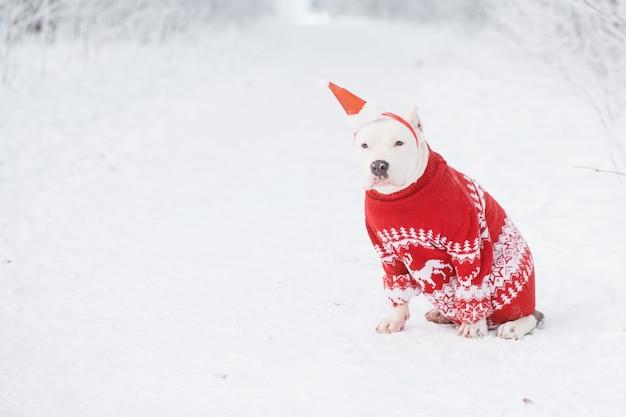 Buldog amerykański w czapce mikołaja i świątecznym swetrze z prezentem w zimie.